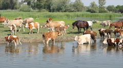 Horses and cows on watering-place Stock Footage