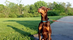 Doberman sitting then stands up to look Stock Footage