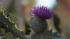 Thistle bloom Stock Footage