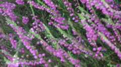 Zoom out from purple heather  1033-1 Stock Footage