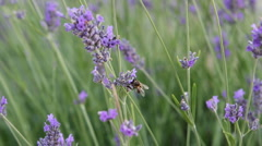 Lavander-and-bee Stock Footage