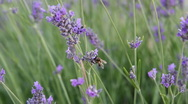 Stock Video Footage of lavander-and-bee