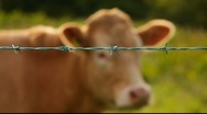 Stock Video Footage of Cow