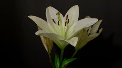 Stock Video Footage of Three white lilies 10 seconds time remap timelaspe HD