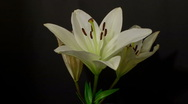 Stock Video Footage of white lily decay 10 seconds time remap 3