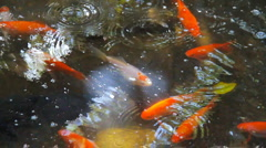 Pond containing swimming goldfish Stock Footage