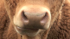 Cow Chewing the Cud - stock footage