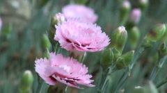 Open Pale Pink Carnation Flowers with Buds in Background Stock Footage