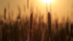 wheat at dawn. shot with slider. - stock footage