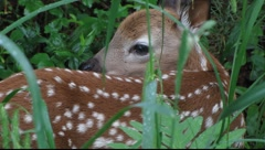 Fawn Close-up Stock Footage