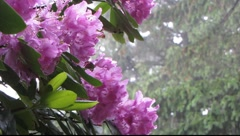 Rhododendrons with rain drops Stock Footage
