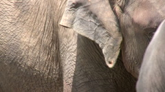 Stock Video Footage of Closeup of elephant's grooves with friend in background