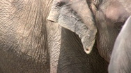 Closeup of elephant's grooves with friend in background Stock Footage