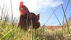Chickens ranging Stock Footage