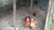 Chickens Stock Footage