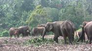 Pinnawela Elephant Orphanage - eating elephants Stock Footage