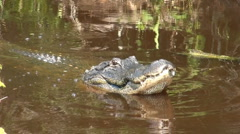 Alligator popping its jaws in aggression - stock footage