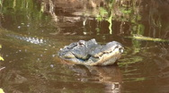 Stock Video Footage of Alligator popping its jaws in aggression
