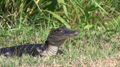 Young alligator in a Florida swamp Stock Footage