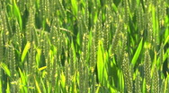 Stock Video Footage of backlit green wheat ripening in a field. Looping