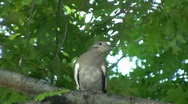 Morning Dove Stock Footage