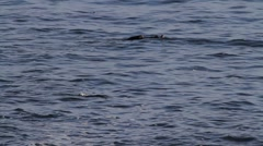 Seals in the Pacific Ocean Stock Footage
