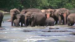 Herd of elephants, Pinnawela Orphanage, Sri Lanka Stock Footage