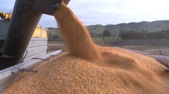 harvested corn being loaded into a truck - stock footage