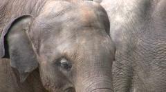 Lonely elephant, sad eyes, face, expression, animal, wildlife Stock Footage
