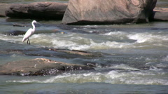 White bird in Sri Lanka river, looking to catch fish Stock Footage