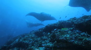 Stock Video Footage of Mantas (Manta birostris), swimming in a row, Maldives