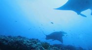Stock Video Footage of Mantas (Manta birostris) swimming together, Maldives