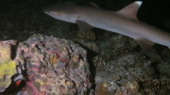 Whitetip reef shark (Triaenodon obesus) at night, Maldives Stock Footage