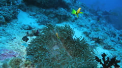 Ocellaris Clownfish (Amphiprion ocellaris) in anemon, Maldives Stock Footage