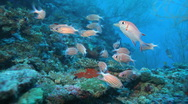Stock Video Footage of School of Crown squirrelfishes (Sargocentron diadema), Maldives