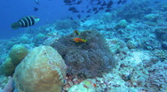 Stock Video Footage of Maldive anemonefish (Amphiprion nigripes) in a sea anemone