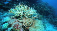 Stock Video Footage of Small fishes around hard coral, Maldives