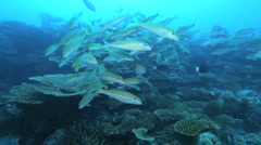 Swimming school of Yellowstripe goatfishes (Mulloidichthys flavolineatus) Stock Footage