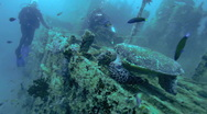 Stock Video Footage of The hawksbill turtle (Eretmochelys imbricata) on ship wreck, Maldives