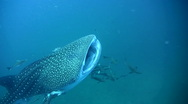 Whale shark (Rhincodon typus) mouth being cleaned Stock Footage