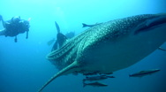 Whale shark (Rhincodon typus) passing from below Stock Footage