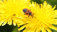 Firebug on dandelion Stock Footage