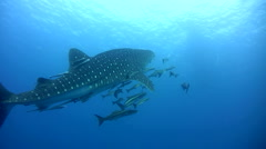 Whale shark (Rhincodon typus) swimming up Stock Footage