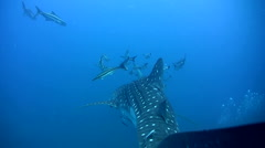 Stock Video Footage of Whale shark (Rhincodon typus) from above