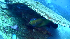 Semicircle angelfish (Pomacanthus semicirculatus) cleaned Stock Footage