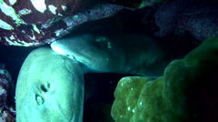 Grey bamboo shark (Chiloscyllium griseum) mating 1 Stock Footage