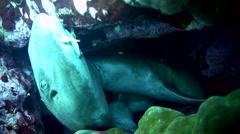 Grey bamboo shark (Chiloscyllium griseum) mating Stock Footage