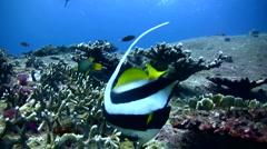 Longfin bannerfish (Heniochus acuminatus) - stock footage