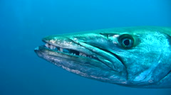 Stock Video Footage of Great barracuda (Sphyraena barracuda) very close up head side