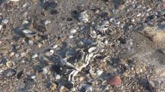 Beautiful sea shell and carp skeleton on the beach Stock Footage